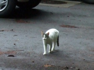 そろそろチェックインのペンションまで戻る途中、ニャーニャー鳴いている猫を見つけました。視点を合わせてカメラを撮ろうとすると、この人懐っこい猫は私達のところに近づいてついていこうとしました。夫は、冗談のように「もしかしら、地震猫ではないか?」と言っていたのですが、その後の夜中に偶然地震がありました。2011年7月8日 3時35分ごろ 福島沖震度4(M5.6)で、ここ草津も少し揺れました。