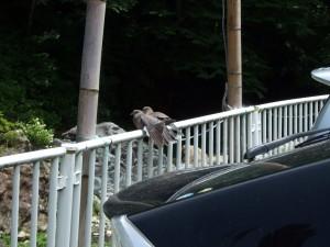 渓流に行く前に、山鳩の夫婦二羽ツーショット!