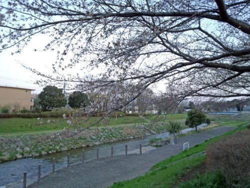 柳瀬川の花5