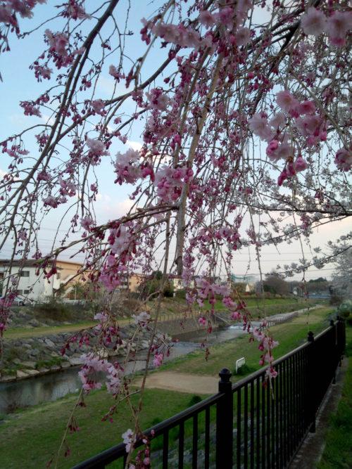 柳瀬川沿いの花2