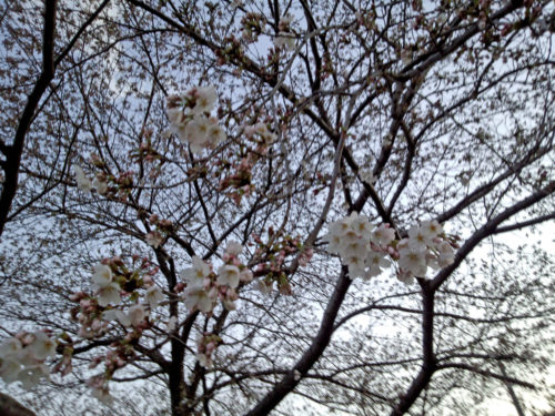柳瀬川の花4