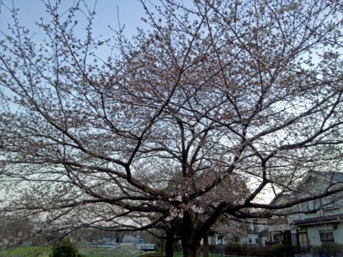 柳瀬川の花3