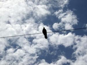 近所のどこでも電線にいる鳩。