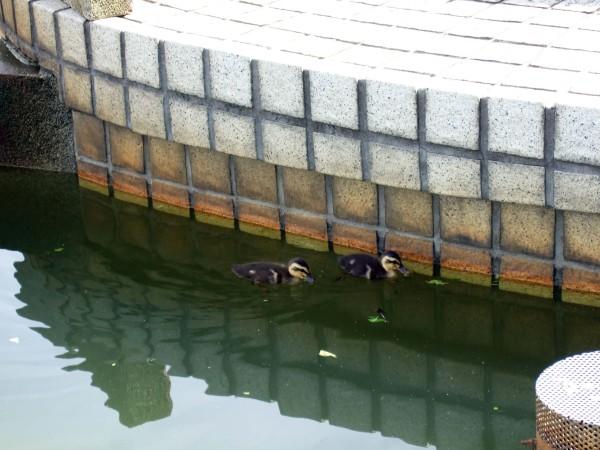 母親のいない、東村山駅東口の噴水で残された雛たち。