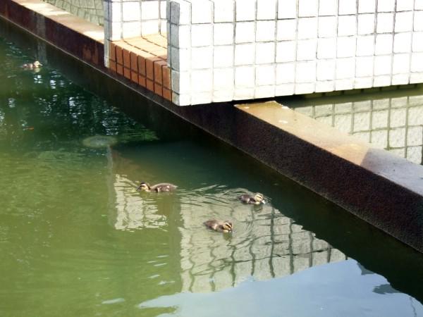 同じ噴水の別の場所で泳いでいる雛たち。