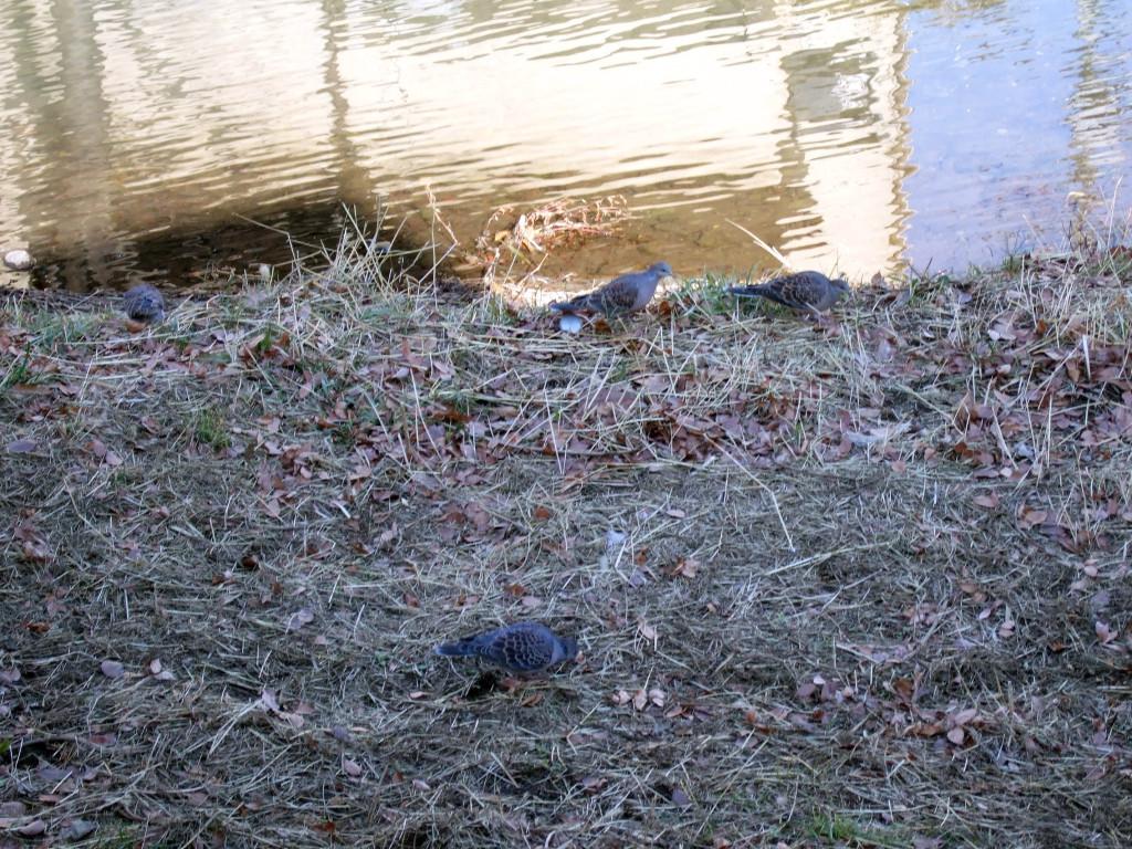 自転車で道を通る途中、何故かここだけ4羽のキジバトが餌探ししていました。