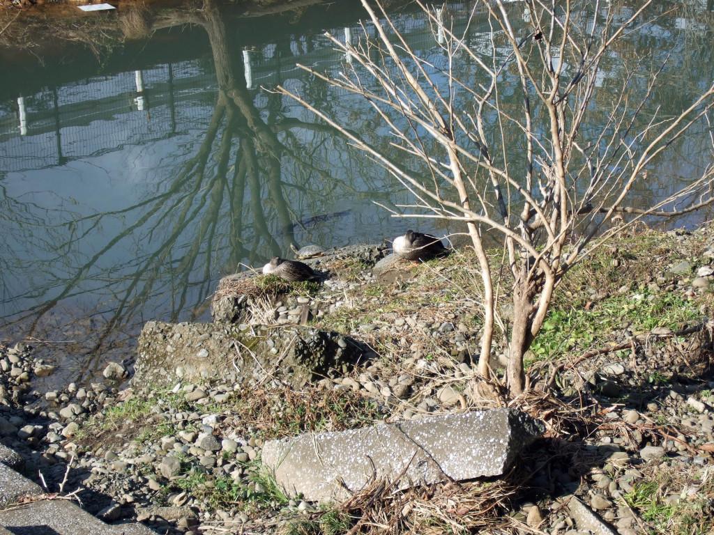 明治薬科大前の空堀川に着くと、2羽で日向ぼっこしてくつろぐカルガモを見つけました。すると、カルガモ達の前には・・・?