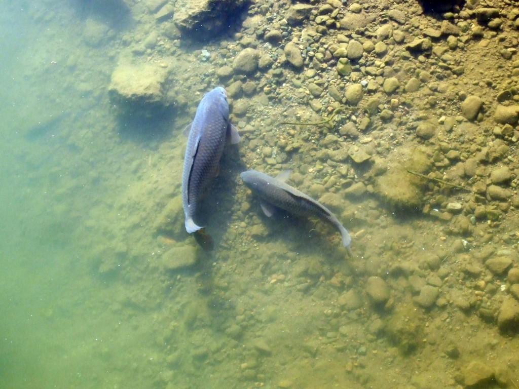 親子なのか?体がひとまわり小さい鯉は大きな鯉に甘えてきているようにみえます。