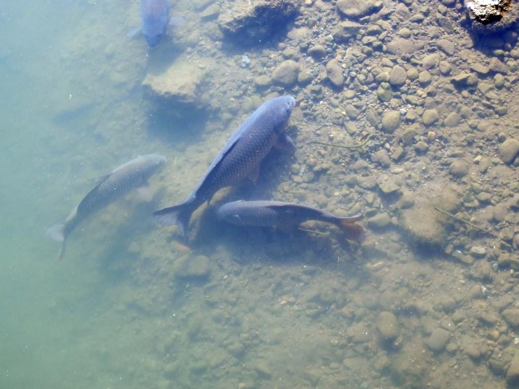 すると、大きな鯉の左にはもう一匹のひとまわり小さい鯉が寄ってきましたので、やはり親子なのでしょう。。。?