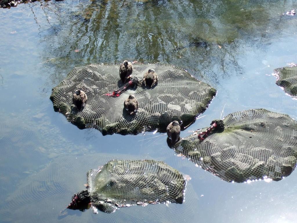 石が積んである網の上にカルガモ達はみな仲良くくつろいでいました♪
