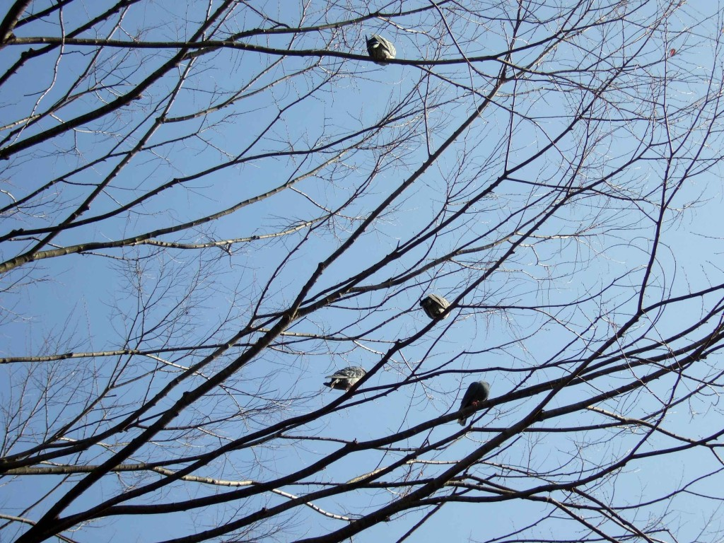 もう一か所のある木には鳩ポッポの群れがありました。