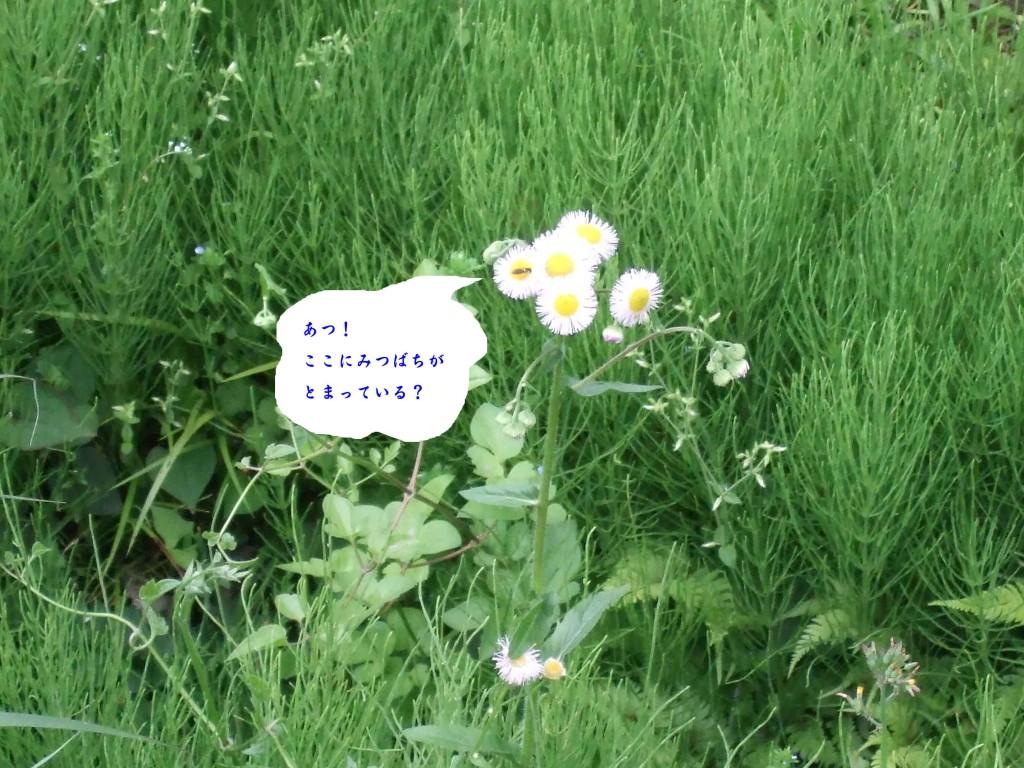 ヒメジョオン(姫女菀、学名: Erigeron annuus)は、キク科ムカシヨモギ属の植物。