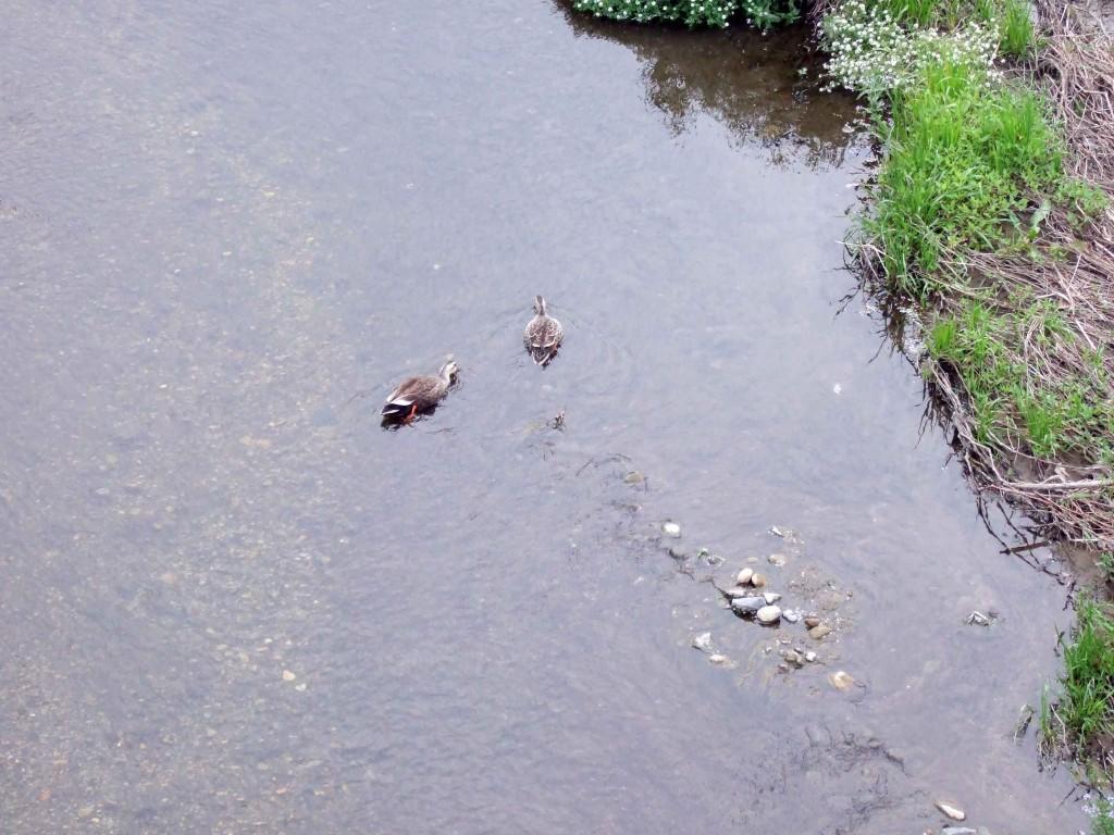 境橋の下で泳ぐカルガモ夫婦。