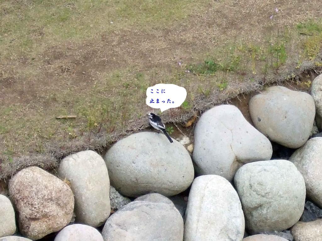 この野鳥はハクセキレイでした。ハクセキレイとセグロセキレイとの区別は難しいですが、見分け方はセキレイの目の下に注目!