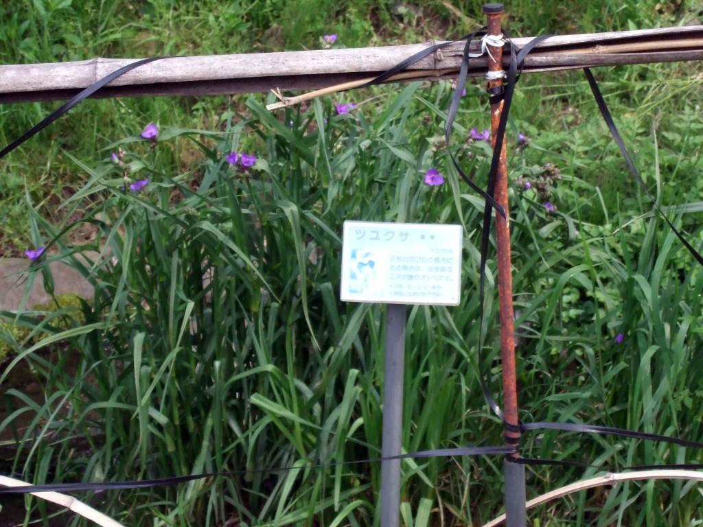 ツユクサ(露草、Commelina communis)は、ツユクサ科ツユクサ属の一年生植物。