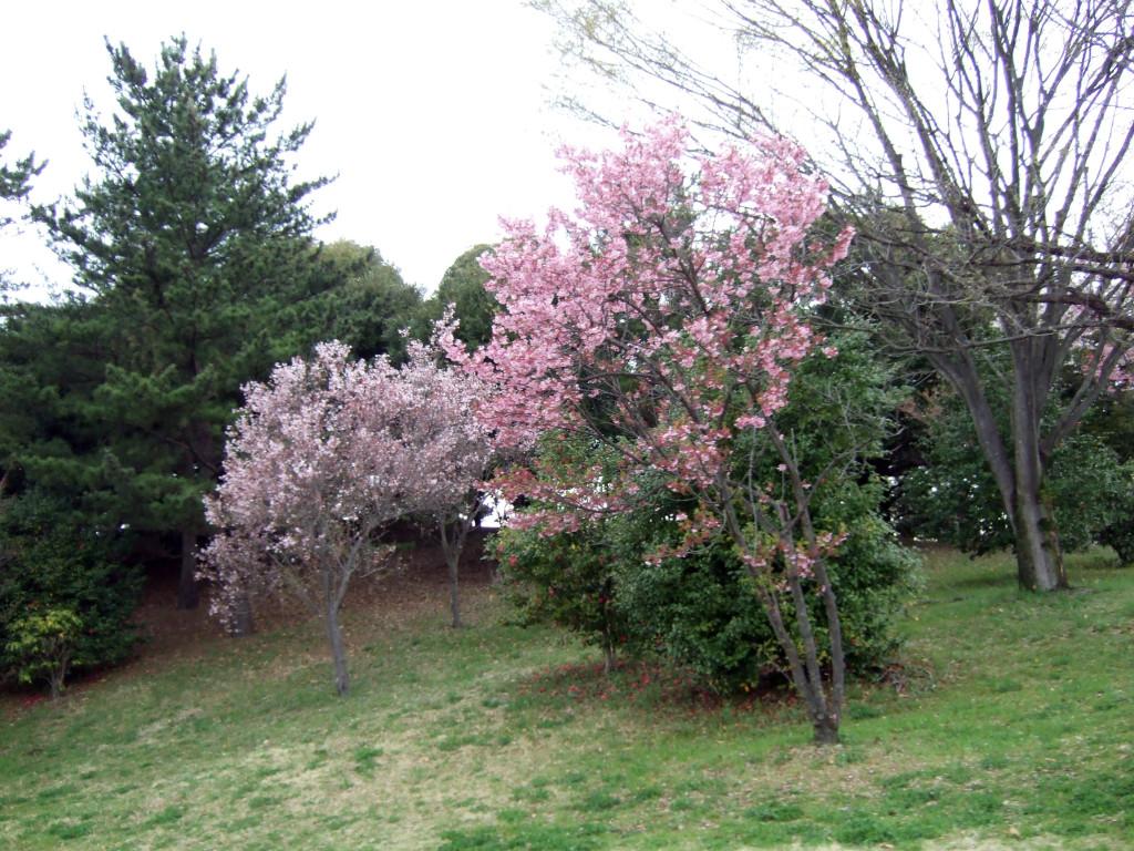 これから日本庭園へ向かう途中にはピンク色の桜をショット。