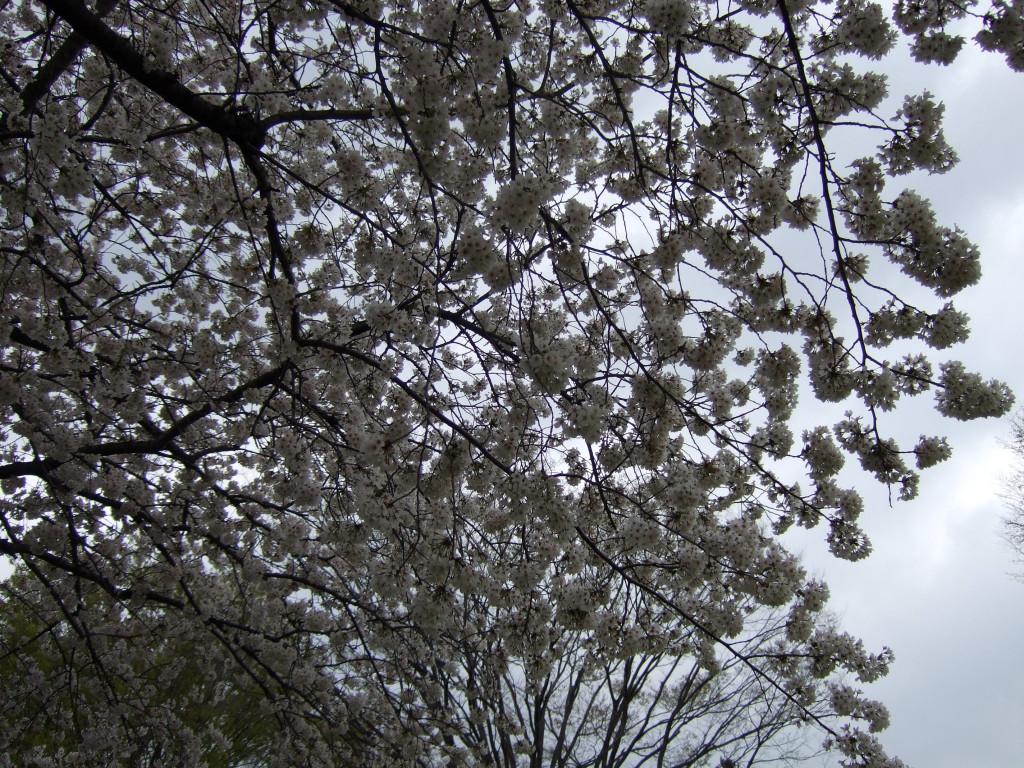 曇り桜も良しだと思います。