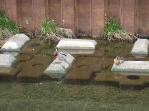 次は、最近空堀川にあらわれたマガモの夫婦。