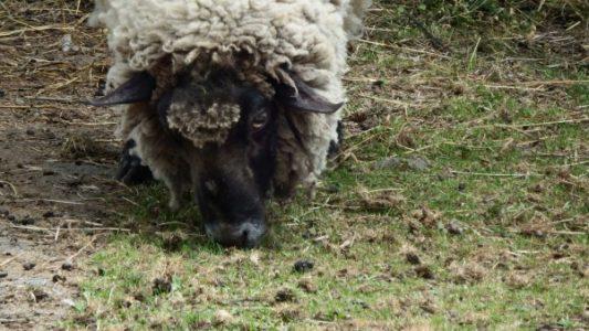 浅間牧場茶屋の動物コーナーにいた羊