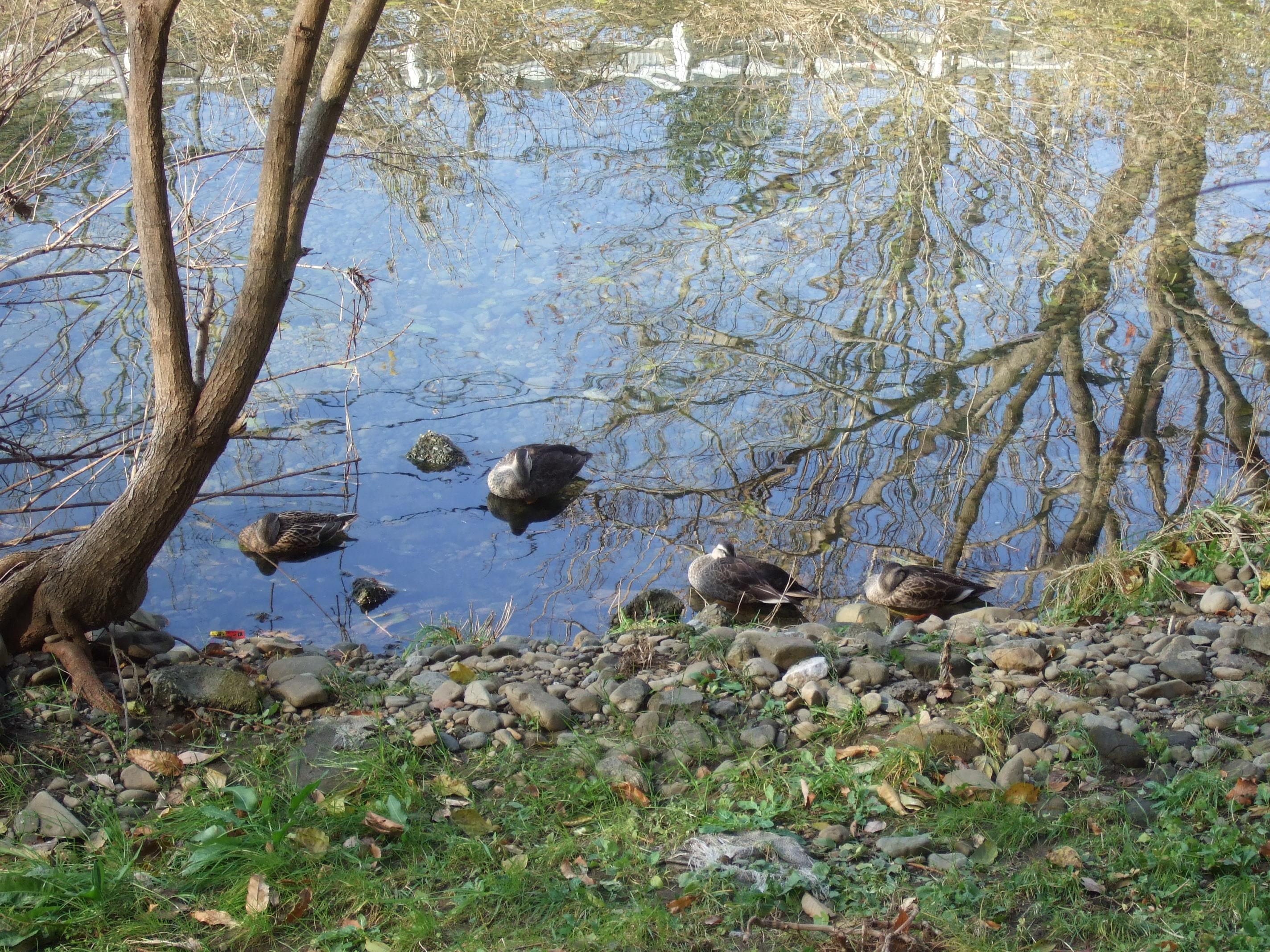 清瀬の森の前の空堀川にはカルガモの群れ。彼らはいつも同じ場所でのんびり日向ぼっこしています。