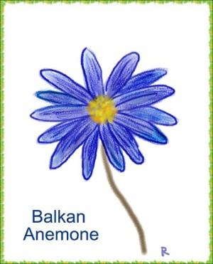 アネモネ・ブランダ(日本語:ハナアネモネ)、バルカン半島に咲いているのでバルカンアネモネなどの名が沢山ある。 ※花言葉(全般): 「自信」「はにかみ屋」「信じて待つ」など
