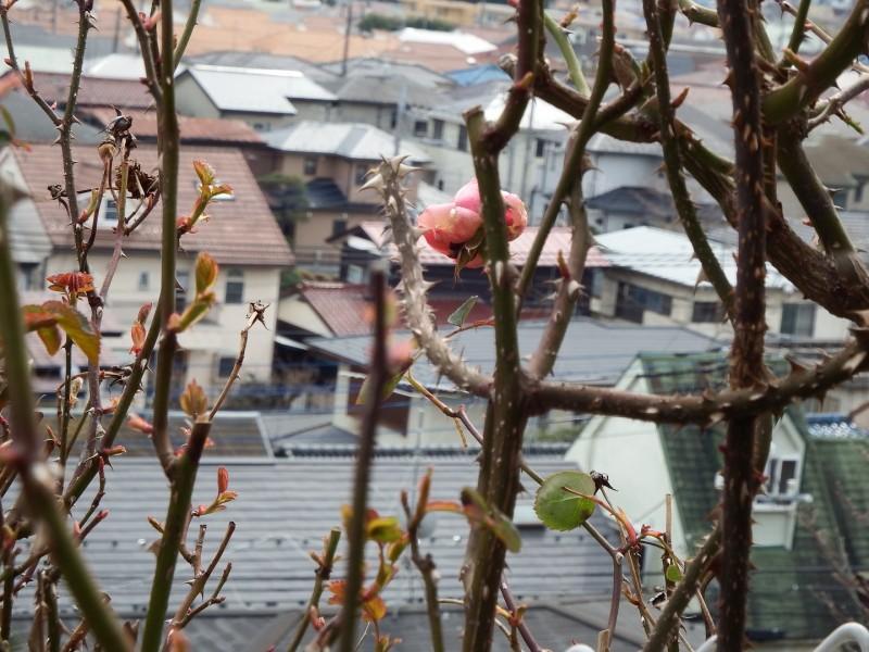 いばらだらけの中で、一輪咲いているピンクのバラが下の景色を眺めていました。