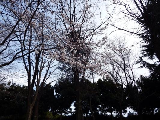 航空公園花時計のそばで咲く桜