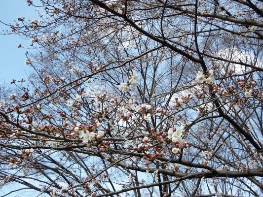 咲いているソメイヨシノをカメラで拡大
