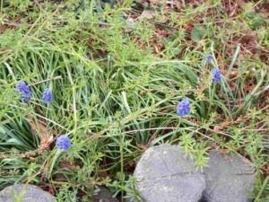 雑草の中に咲く小さい青い花