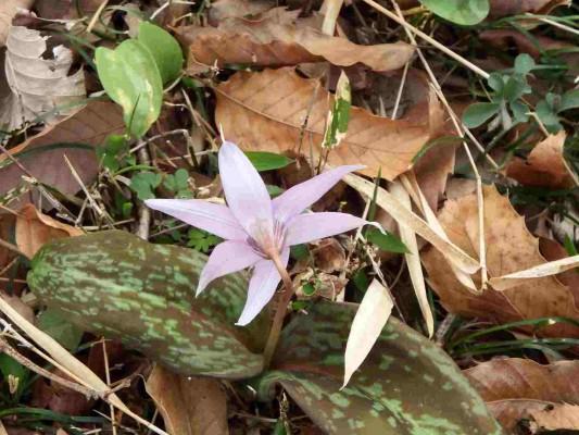 パッと開いた薄紫のカタクリの花