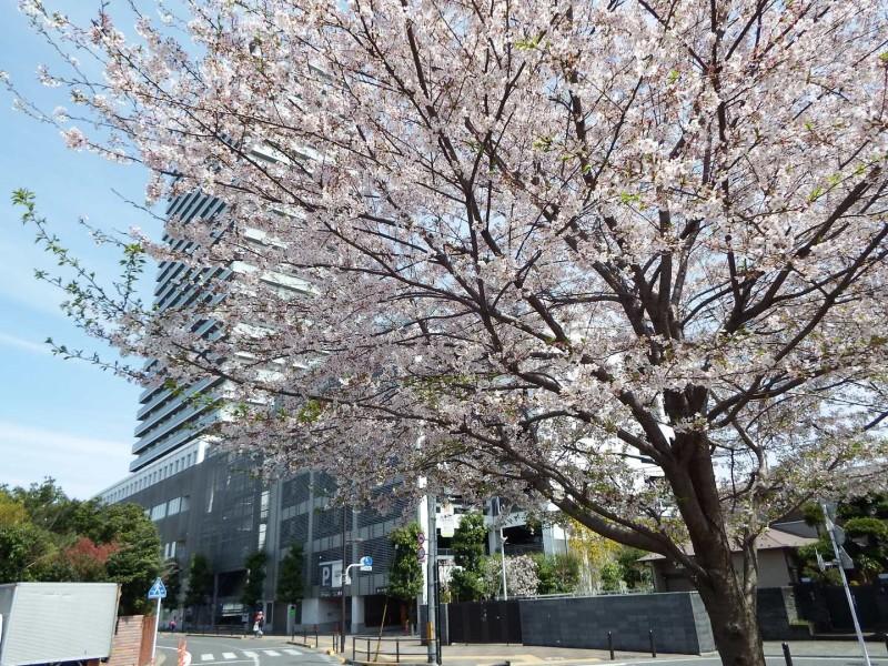 東村山駅西口に植えてある散り続けている桜。