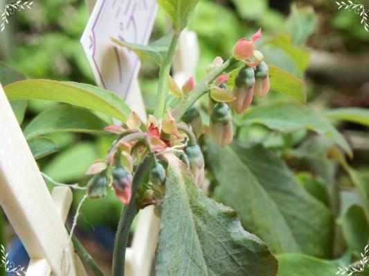 ブルーベリーの花の蕾