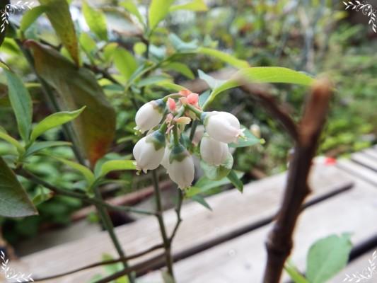 ブルーベリーの可愛らしい白い花が咲きました♡