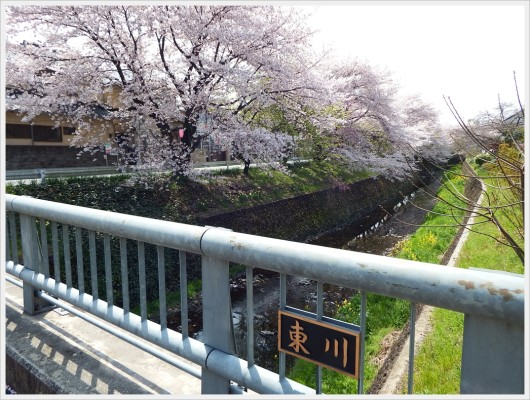 東川の桜並木の様子。この辺りは所々葉桜も目立ちます。
