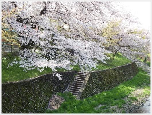 桜並木の下にある階段。川遊び用なのか作業関係者用なのかいつも謎。
