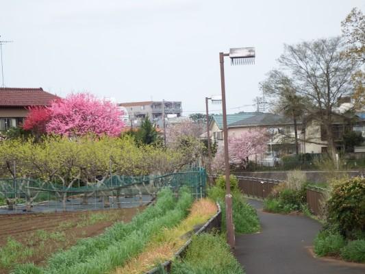 大沼田橋を経過したキレイな全体風景。左側の遊歩道では民家の畑と見事な鮮やかな赤とピンクの花が咲いている木、空堀川の右反対の遊歩道側には淡いピンクの桜が咲いています。このバランスをカメラで納めてみました。