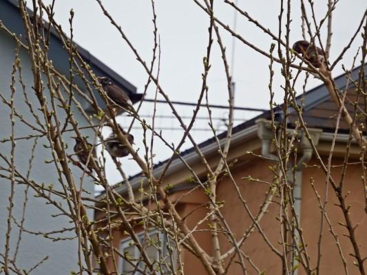 曙橋を通過した川岸の真ん中にある木にどこでもいるムクドリの群れが集まっていました。