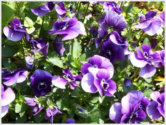 濃い紫のパンジー