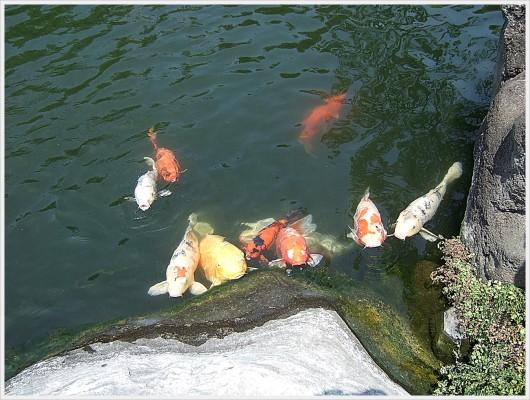 池に近づくと、大きくて立派なニシキゴイ達が「餌をくれ〜」と集まって寄ってきました。しかし、私たちは彼らの餌を持っていなかったので、鯉達は機嫌を損ね、尻尾で水をぶっかけられました。(笑)ちなみに、鯉の餌はその場で販売しています。