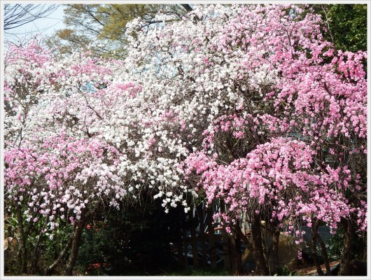 毎年、白と濃いピンクで見事に咲く某農家のお庭で咲く桜。