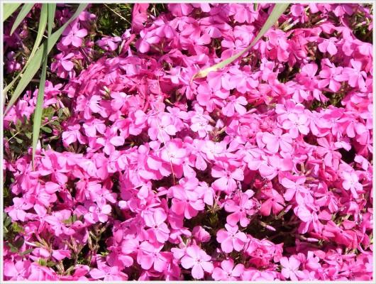 鮮やかなピンクの花