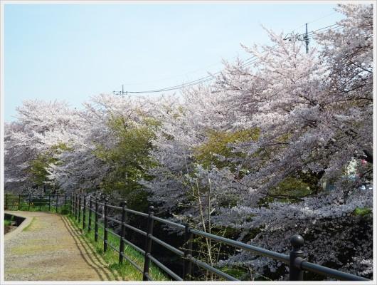 桜並木を望む遊歩道。薄ピンクの桜と葉桜が交互になっています。