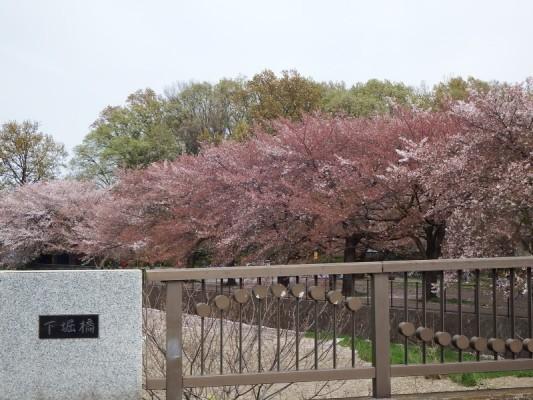 下堀橋から眺めた桜並木。もう、だいぶ桜の花は散ったものの、半分以上の葉桜並木の下でまだお花見を行っているグループが数か所ありました。