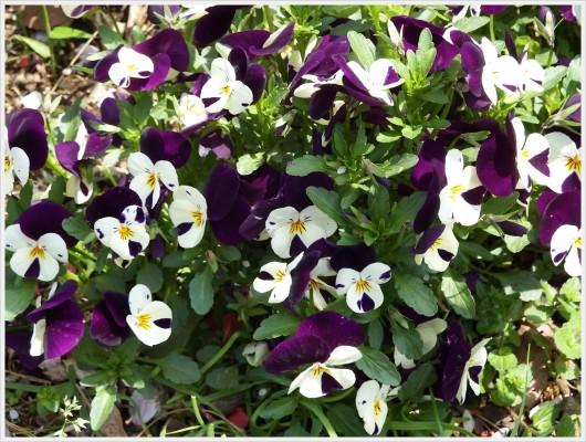 白と紫の鮮やかパンジー