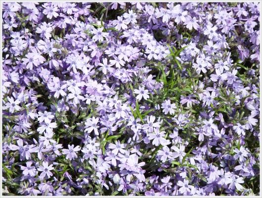 薄紫の清楚な花