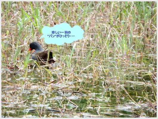 池にいた珍しいバン