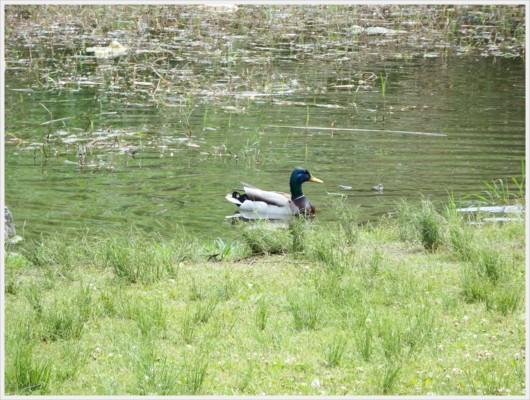 池に泳ぐアオクビ