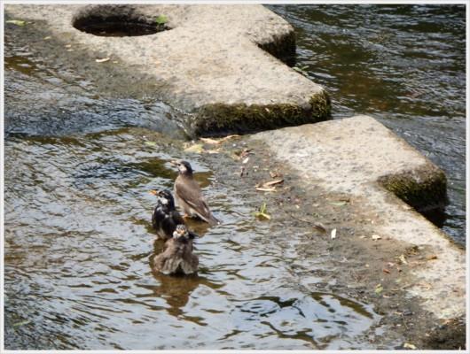 ムクドリたちの水遊び