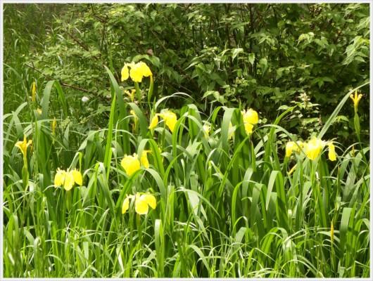 蛍の生息地に咲く花キショウブ