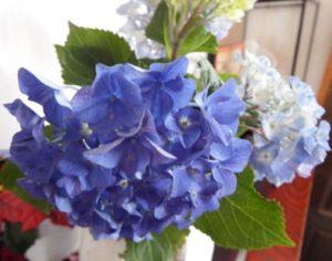 玄関の青いアジサイ